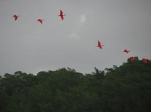 s ibis